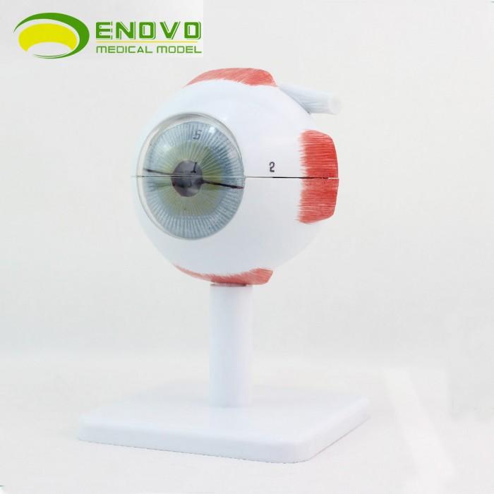 Enovo 6 Part Human Eyeball Anatomy Model 3x Life Size