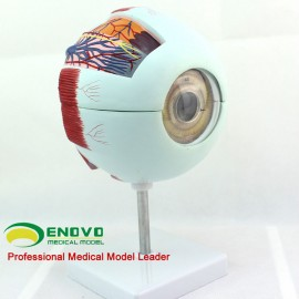 Quality Giant Eyeball ENOVO 6-Part Human Eyeball Anatomy Model 6x Life Size