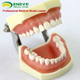 Human Removable Teeth Anatomy Model of Dental Teeth Study Model